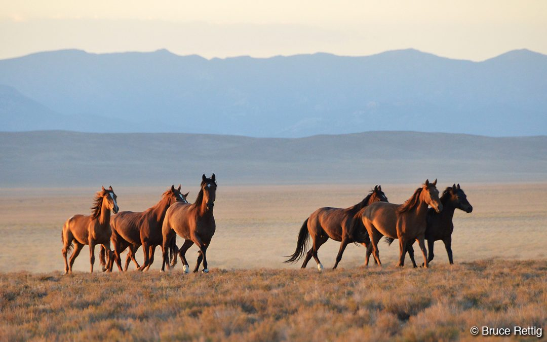 Nevada's Wild Horses: Strong and Resilient Residents of the High Desert