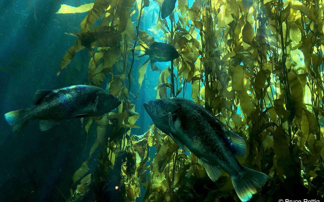 Coastal Sea Life Threatened by Diminishing Kelp Forests